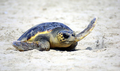 Flatback turtle female, coming to lay her eggs on the beach at Mon Repos